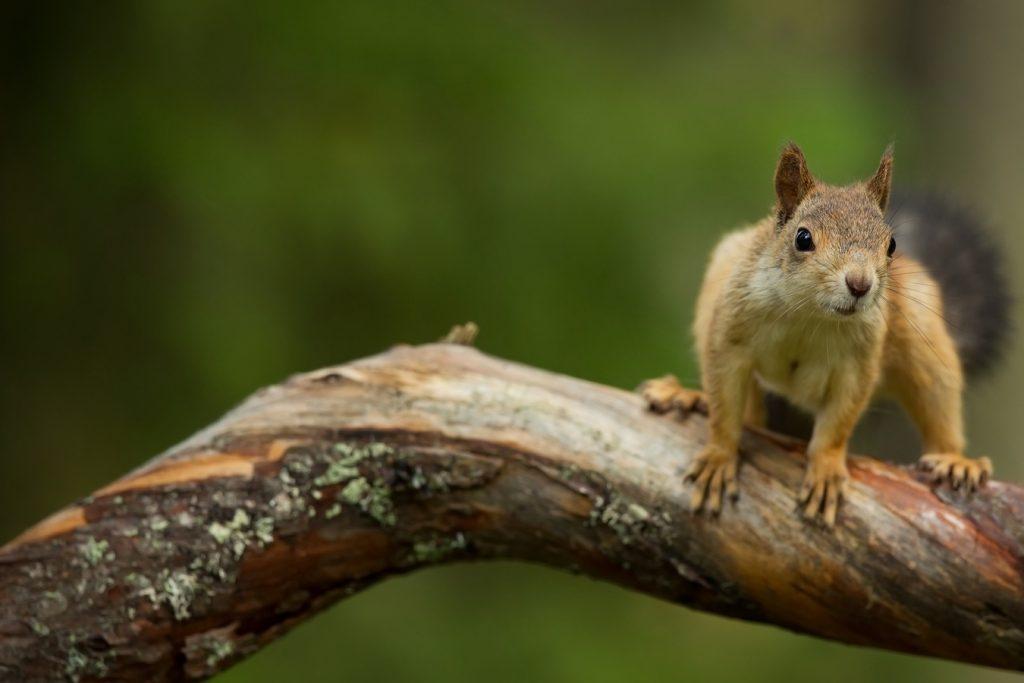 Cet écureuil sur la branche est une illustration de ce que nous protégeons chez Biodiv'Air Santé. La biodiversité de la Nature locale et nationale